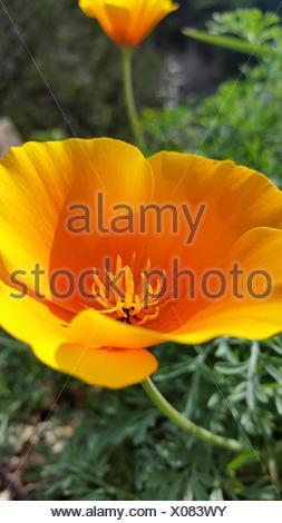 Calif state flower - Stock Photo