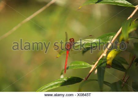 Ruby Meadowhawk Dragonfly Male Stock Photo