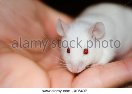 Fancy Mouse, domesticated breed of the House Mouse (Mus musculus) - Stock Photo