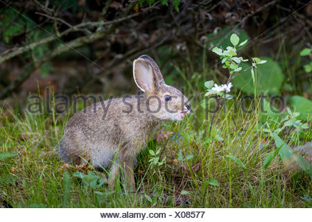Young Snowshoe Hare (Lepus americanus) with tongue out, Misery Bay Provincial Park, Manitoulin Island, Ontario, Canada - Stock Photo