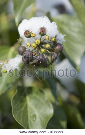 common ivy, hedera helix - Stock Photo