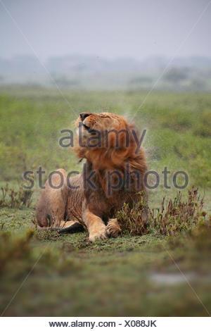 lion (Panthera leo), male lion shaking water off its rain-wet head, Tanzania, Serengeti National Park - Stock Photo