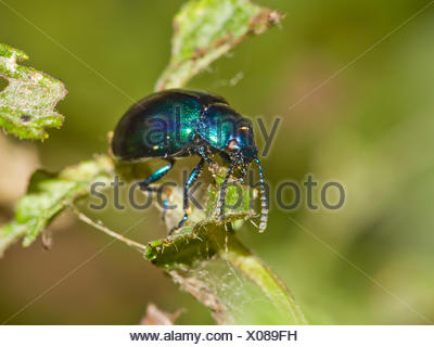 Chrysolina coerulans on mentha - Stock Photo
