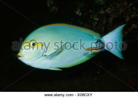 Cleaner Wrasse cleans Elongate Surgeonfish, Labroides dimidiatus, Acanthurus mata, Bali, Seraya, Indonesia - Stock Photo