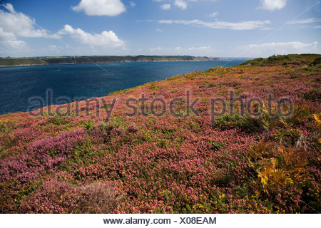 Blooming heather and gorse on the Crozon peninsula, Goulet de Brest, Southern Finistere, Brittany, France, Europe - Stock Photo