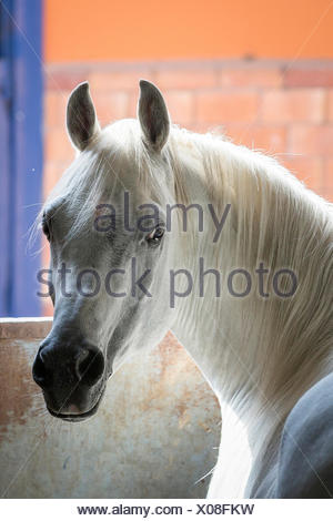 Arabian Horse. Portrait of gray stallion in a stable. Egypt - Stock Photo
