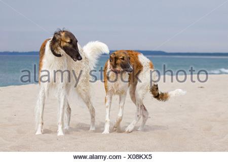 two Barzoi dogs standing beach - Stock Photo