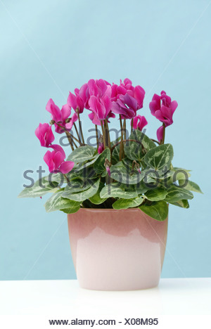 Cyclamen (Cyclamen persicum), potted plant, Heddesheim, Germany - Stock Photo