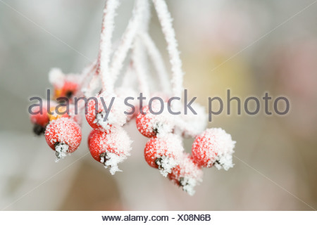 Frost on red berries - Stock Photo