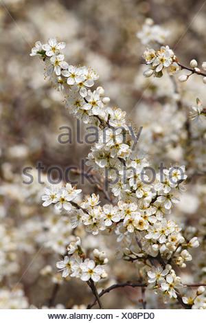 Flowering Blackthorn or Sloe (Prunus spinosa) - Stock Photo