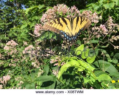 A female eastern tiger swallowtail butterfly, Papilio glaucus, rests on a milkweed plant. - Stock Photo