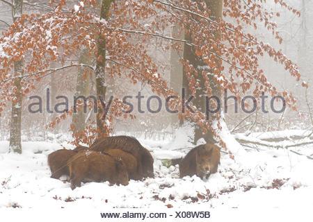 wild boar, pig, wild boar (Sus scrofa), sounder of wild boar in winter, Germany, Baden-Wuerttemberg - Stock Photo