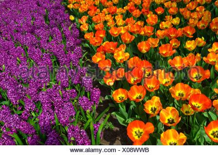 Orange Tulips (Tulipa) and Hyacinths (Hyacinthus), Keukenhof, Holland, Netherlands, Europe - Stock Photo