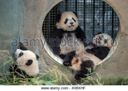 Three giant baby panda cubs raised by a single mother at the Bifengxia Giant Panda Breeding and Research Center. - Stock Photo