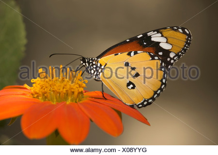Plain tiger butterfly (Danaus chrysippus) pollinating a flower - Stock Photo