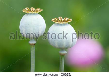 immature capsules of opium poppy, Germany, Lower Saxony - Stock Photo