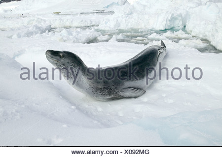 Leopard Seal at Coulman Island Antarctica Photographed between 11pm 3 am when the sun never sets in Summer - Stock Photo