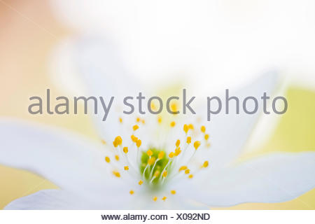 wood anemone (Anemone nemorosa), impression of the stamina in a flower with selective focus, Germany, Baden-Wuerttemberg - Stock Photo