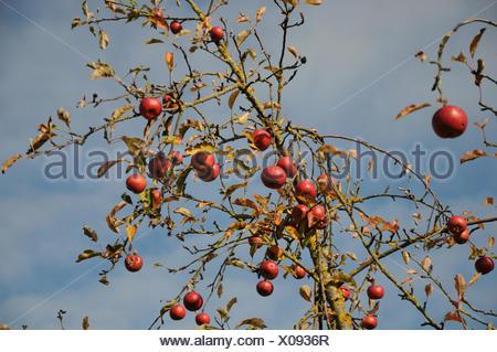 Apple-Sort Gloster - Stock Photo
