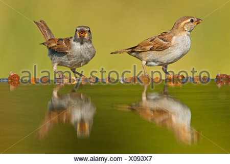 house sparrow (Passer domesticus), two females sitting at a pond drinking, Germany, Rhineland-Palatinate - Stock Photo