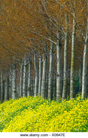 Canadian Poplars with young red coloured leaves - Stock Photo