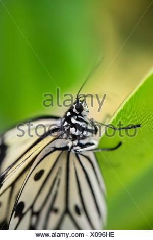 Large Tree Nymph or Paper Kite (Idea leuconoe), captive, butterfly house, botanical garden, Munich, Upper Bavaria, Bavaria - Stock Photo