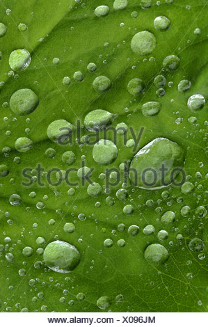 common lady's-mantle (Alchemilla vulgaris), leaf with waterdrops after a rain shower, Germany, North Rhine-Westphalia - Stock Photo
