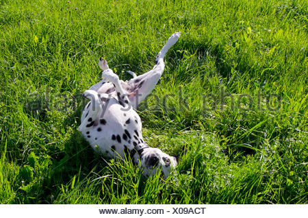 Dalmatian dog, rolling in the grass, feeling comfortably - Stock Photo