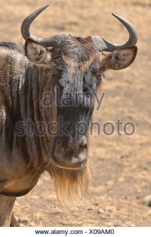 Western white-bearded wildebees (Connochaetes taurinus mearnsi), portrait, Serengeti, Tanzania - Stock Photo