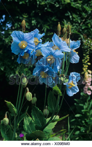 Himalayan Blue Poppy Meconopsis betonicifolia flowering plant - Stock Photo