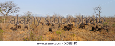 African Buffalo Syncerus caffer Ulusaba Sir Richard Branson's Private Game Reserve Sabi Sands Game Reserve Mpumalanga South - Stock Photo