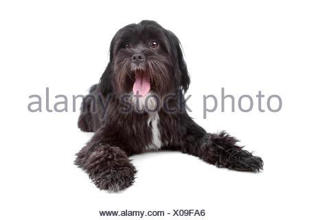 Mix Tibetan Terrier Shih Tzu Stock Photo 278611184 Alamy