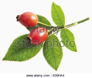 Branch with leaves and rosehips against white background, close up - Stock Photo