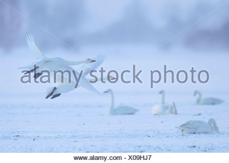 whooper swan (Cygnus cygnus), two whooper swans in flight, in the background several others resting , Germany, Mecklenburg-Western Pomerania - Stock Photo