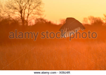 Barn Owl - Tyto alba - Stock Photo