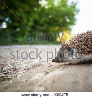Baby European Hedgehog (Erinaceus europaeus) - Stock Photo