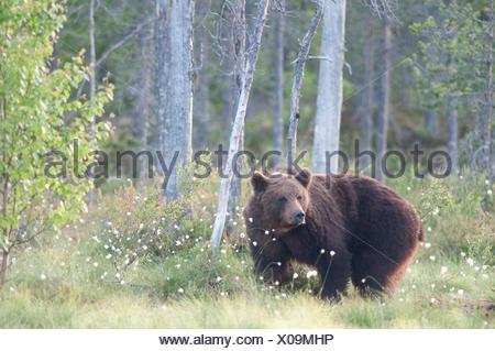 European Brown Bear, Ursus arctos arctos, Kuhmo, Finland, Lentiira, Vartius near Russian Border, foraging at edge of forest - Stock Photo