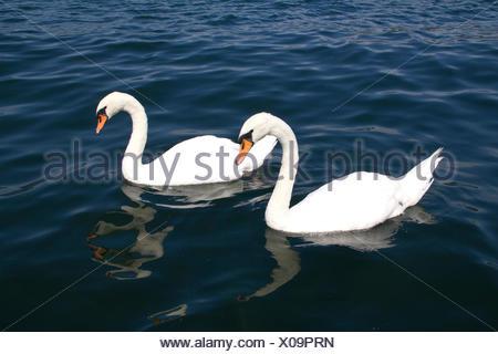beautiful beauteously nice bird swan birds beak beaks couple pair salt water - Stock Photo