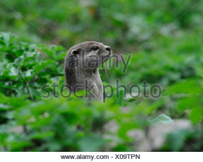 A wild otter popping his head out from the undergrowth. - Stock Photo