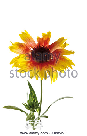 Gaillardia or Blanket flowers - Stock Photo