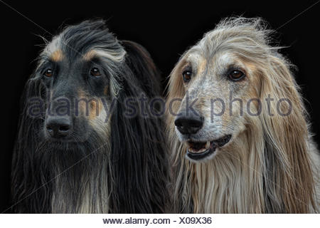 pair of Afghan-Dogs - Stock Photo