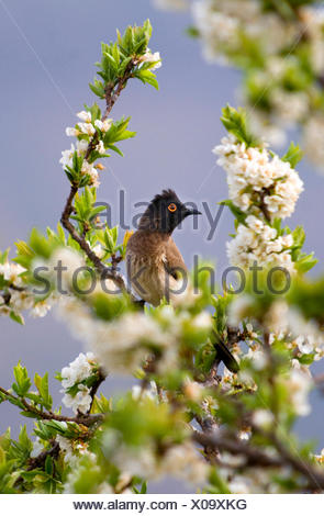 Cape bulbul (Pycnonotus capensis), sitting on a flowering tree, Lesotho - Stock Photo