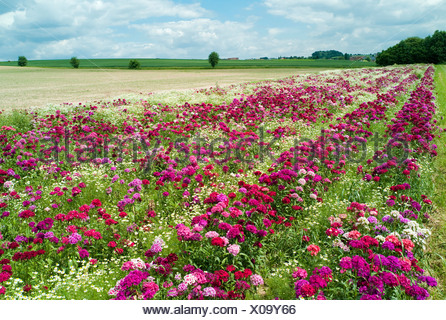 A field with Sweet williams (Dianthus barbatus) and Daisies (Leucanthemum), Hesse, Germany - Stock Photo