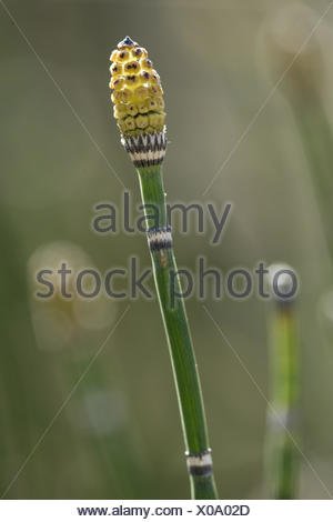 common scouring rush, equisetum hyemale - Stock Photo