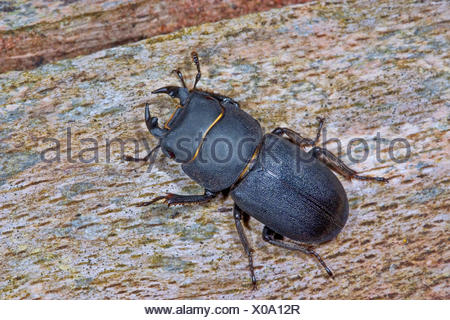 Lesser stag beetle (Dorcus parallelipipedus, Dorcus parallelopipedus), male, Germany - Stock Photo
