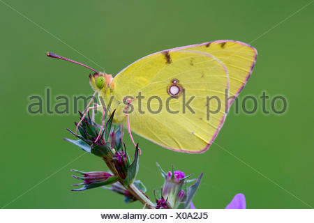 Pale Clouded Yellow (Colias hyale) on a purple loosestrife (Lythrum salicaria) - Stock Photo