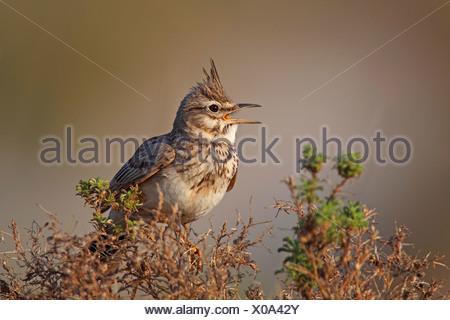 crested lark (Galerida cristata), male calling, Turkey, Goeksu Delta - Stock Photo