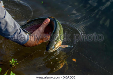 rainbow trout (Oncorhynchus mykiss, Salmo gairdneri), being put back into the water by a fly fisherman, Germany, Bavaria - Stock Photo