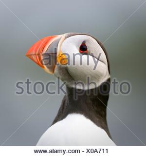 Atlantic Puffin. Isle of Lunga, Treshnish Isles, Isle of Mull, Scotland - Stock Photo