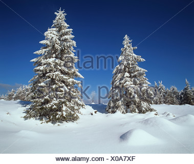 Snow-covered Spruce trees (Picea abies) at the edge of the Beerbergmoor Nature Reserve, a montane raised bog, near Schmuecke, - Stock Photo